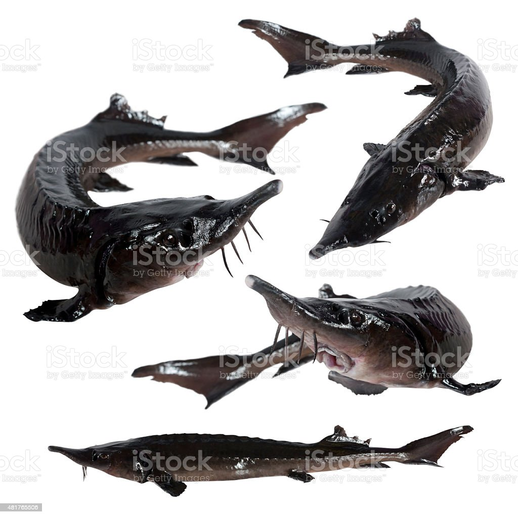 collage sturgeon fish stock photo