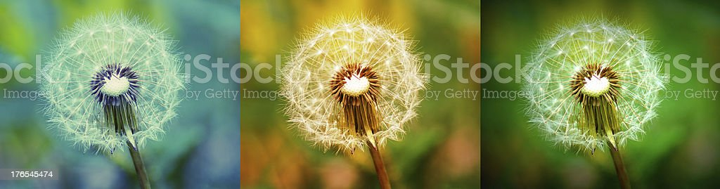 Collage with colorfull Dandelions flowers royalty-free stock photo