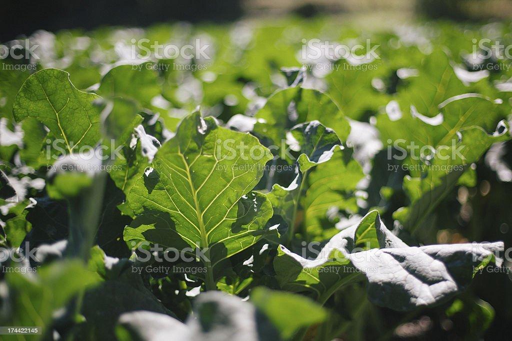 collard greens growing in sunlight royalty-free stock photo