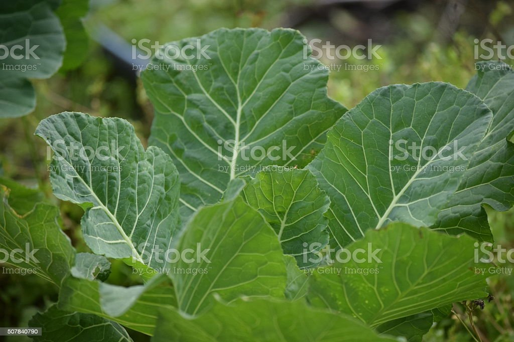 Collard Greens Vegetables Growing stock photo