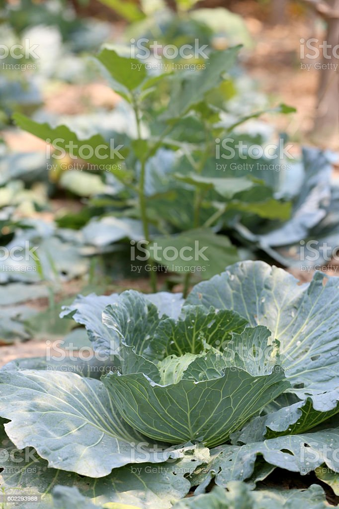 Collard or CABBAGE in the vegetable garden. stock photo