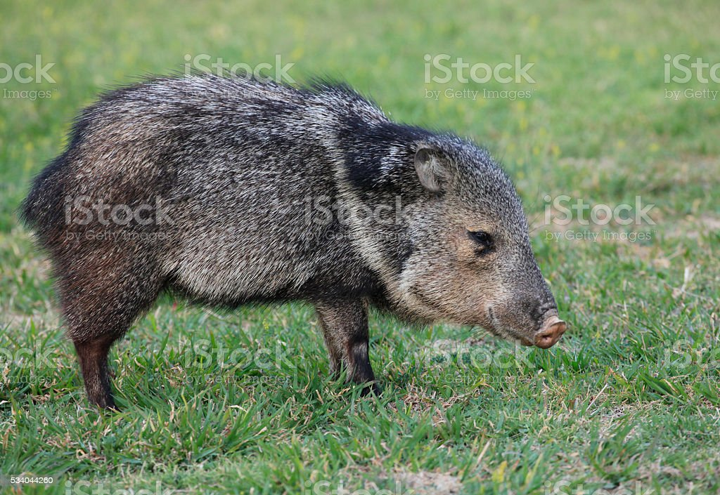 collarded Peccary or Javelina stock photo