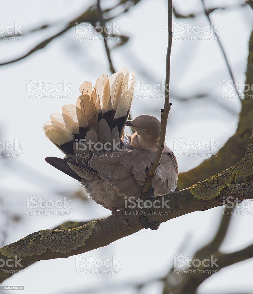 Collared Dove (Streptopelia decaocto) preening in the sun stock photo