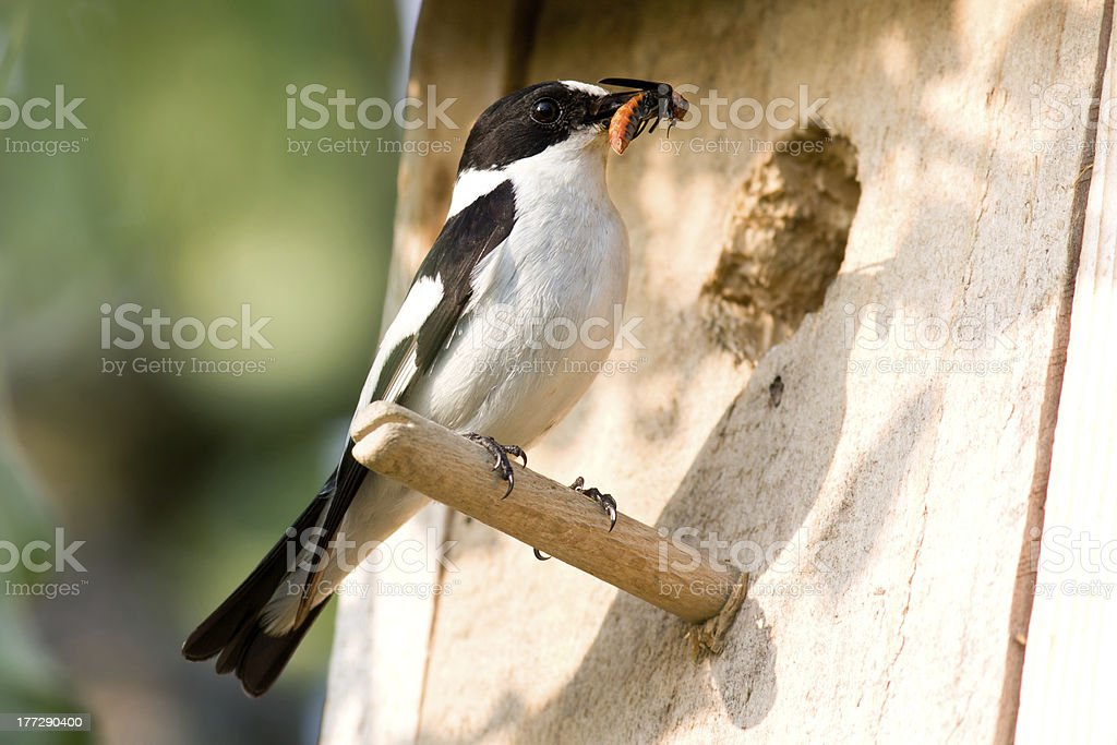 collared flycatcher stock photo