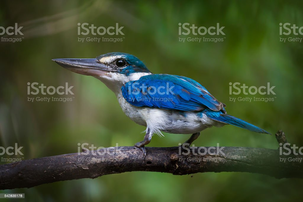 Collared Kingfisher stock photo