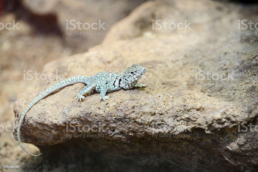 Collared Lizard stock photo