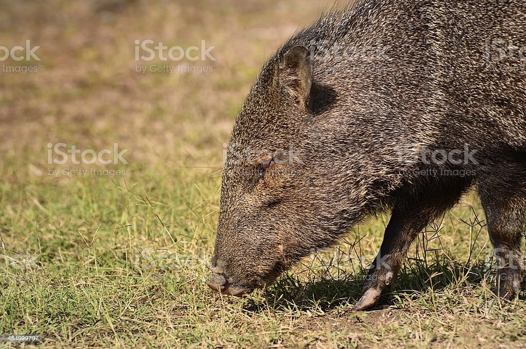 Collared Peccary From Stage Right royalty-free stock photo