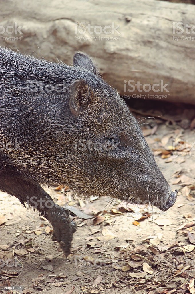 Collared Peccary Hog stock photo