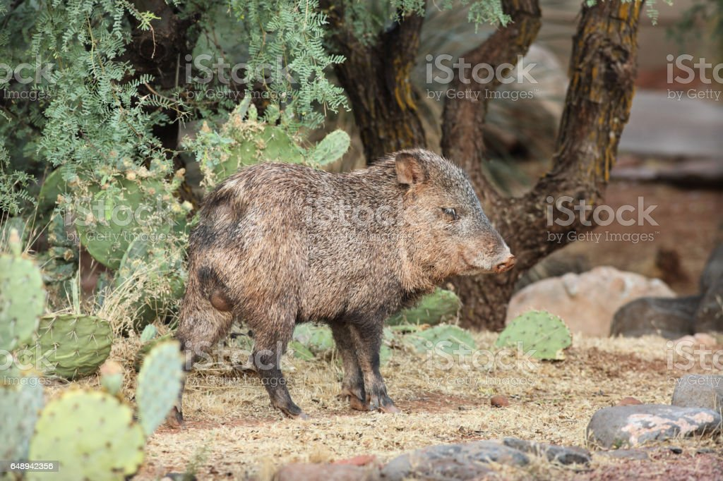 Collared Peccary Javelina Male Foraging stock photo