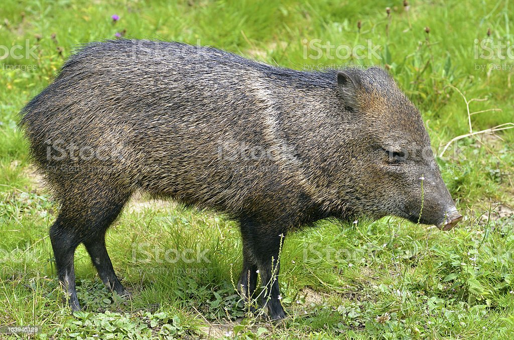Collared Peccary on grass stock photo