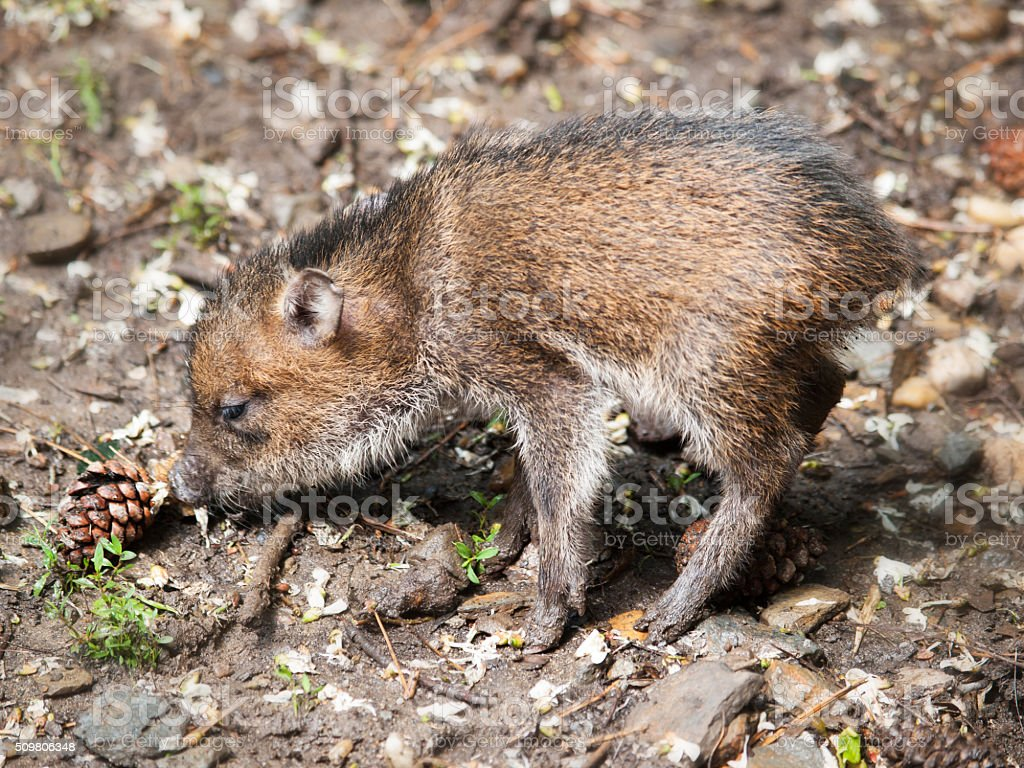 Collared peccary piglet stock photo