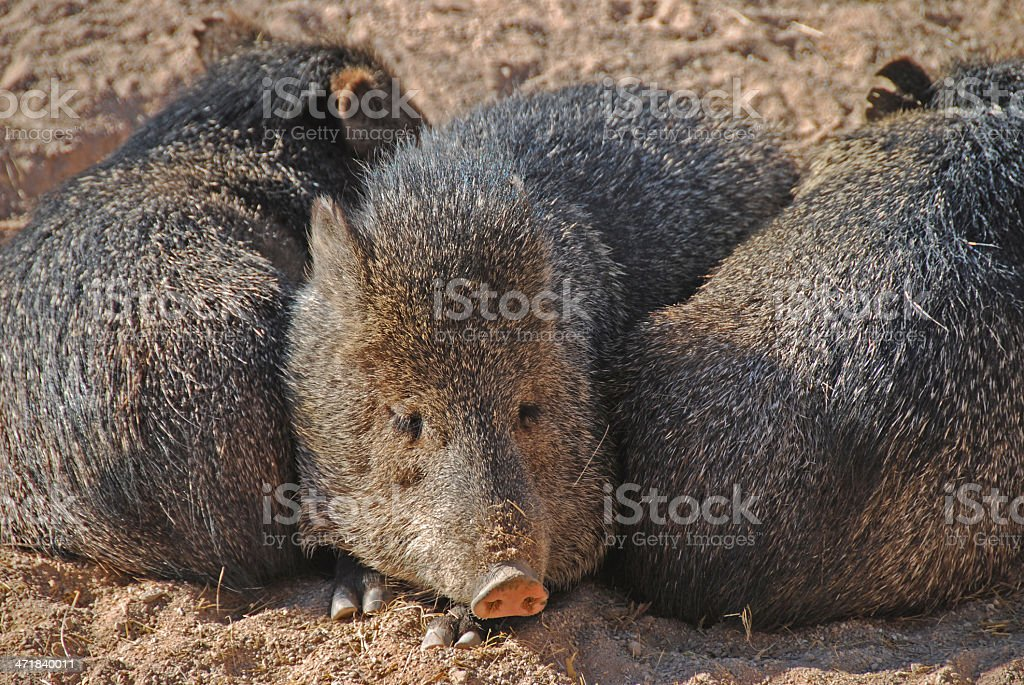 Collared Peccary Snoozing With Friends stock photo