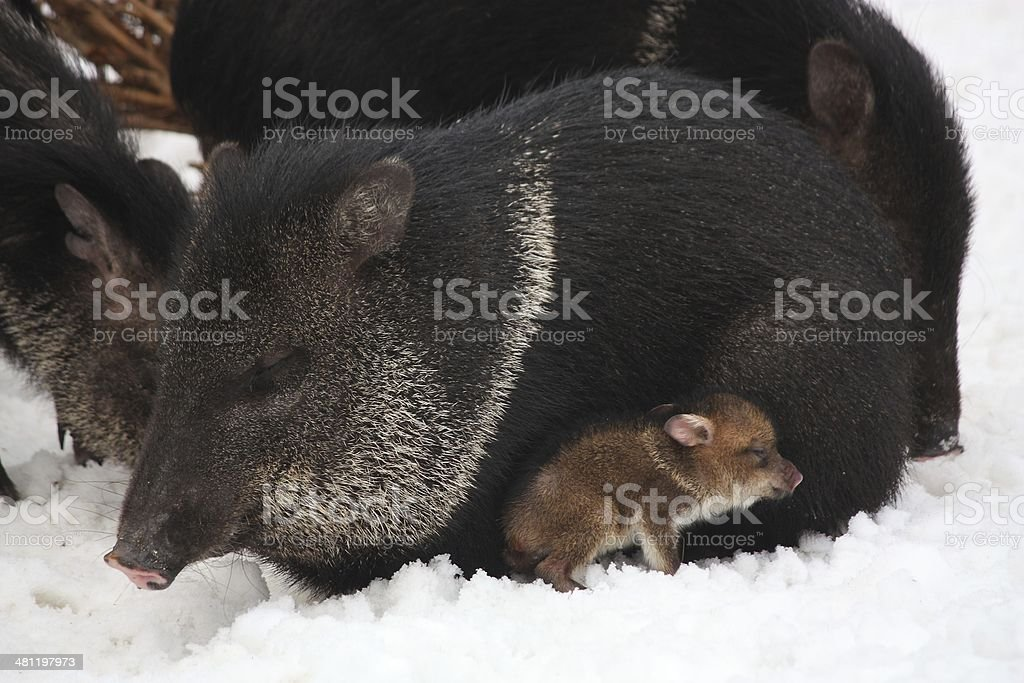 Collared peccary with youngling stock photo