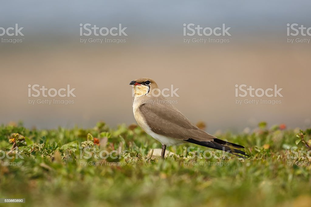 Collared Pratincole resting on grassy bank stock photo
