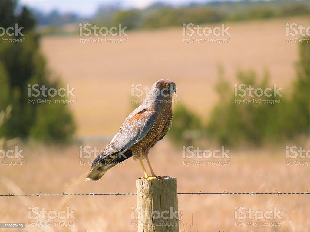 Collared Sparrowhawk; Accipiter cirrocephalus stock photo