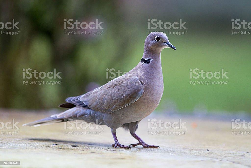 collared turtle-dove, European migratory big bird over green background stock photo