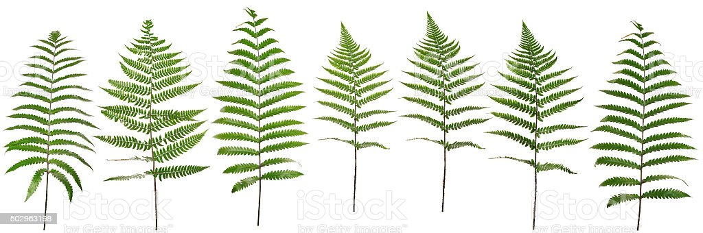 Collected Leaf fern isolated on white background stock photo