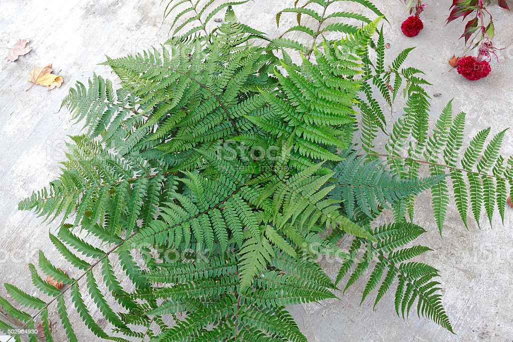 Collected Leaf fern of close-up stock photo