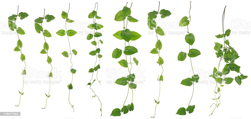 Collected Merremia hederacea isolated on white background stock photo