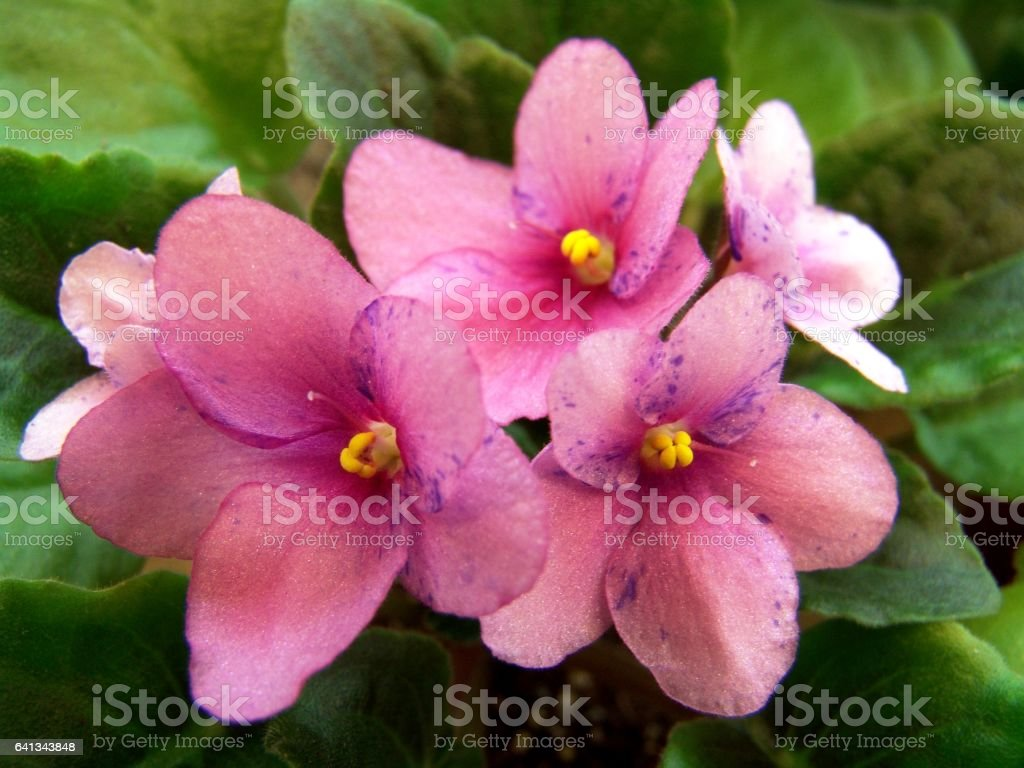Collectible African violet 'First Kiss Blush' stock photo