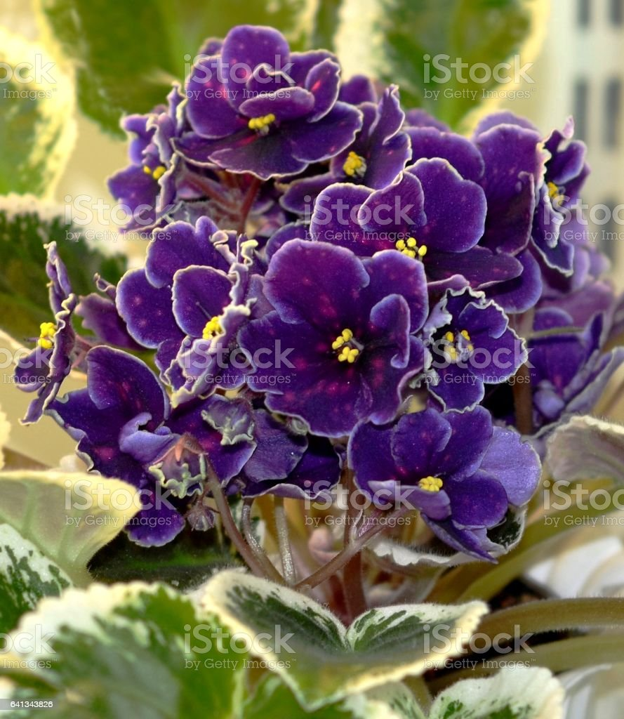 Collectible African violet 'RM Road to stars' stock photo