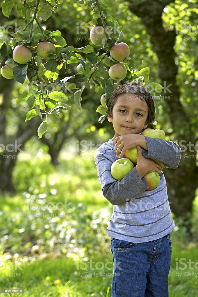 collecting apples royalty-free stock photo