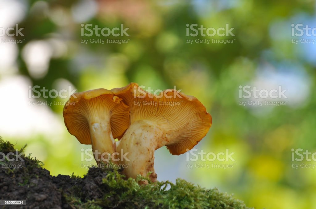 Collecting chanterelle mushroom in the forest. CANTHARELLUS CIBARIUS in moss with green background. stock photo