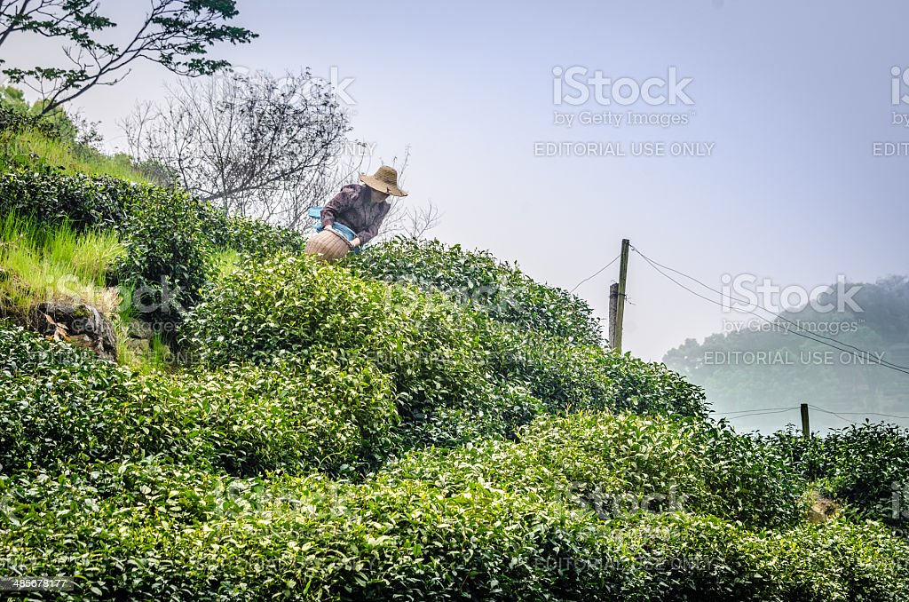 Collecting Longjing tea in Hangzhou, China stock photo