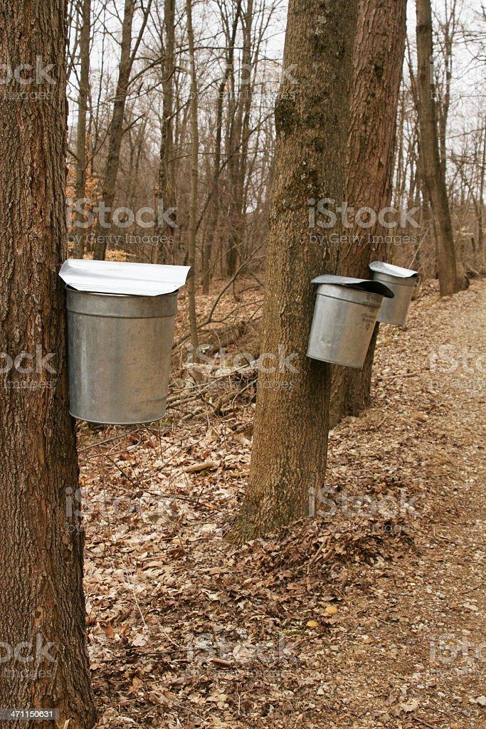 Collecting Maple Tree Sap stock photo