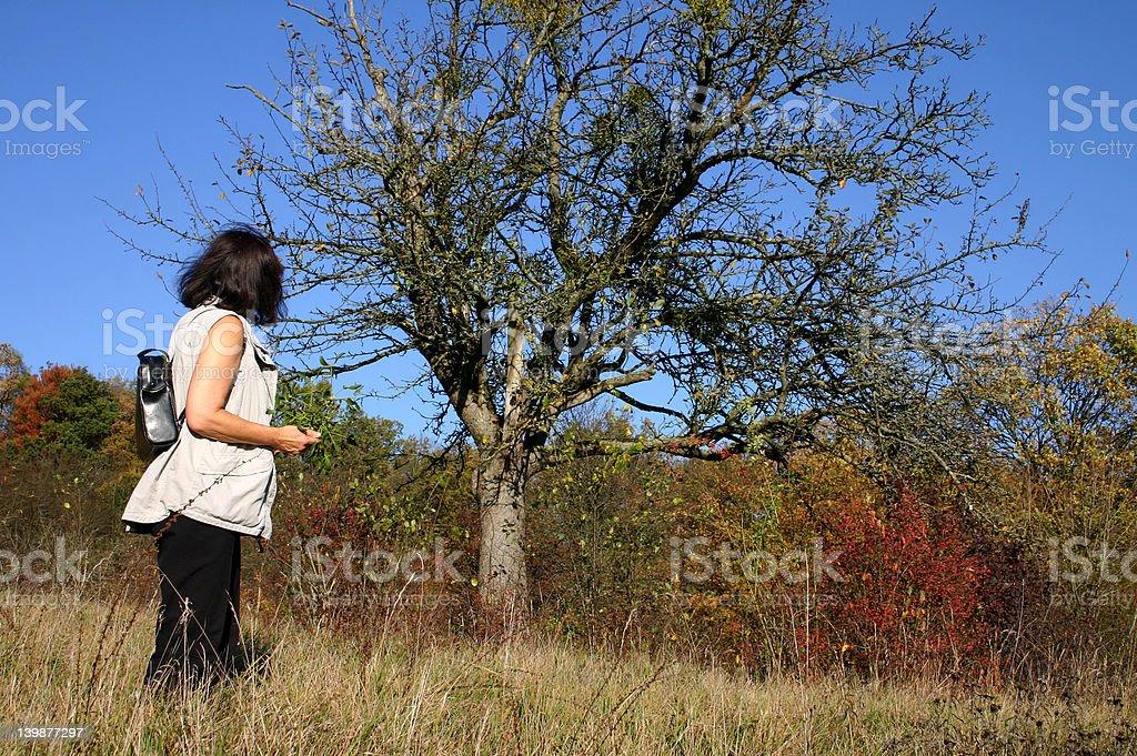 Collecting mistletoe royalty-free stock photo