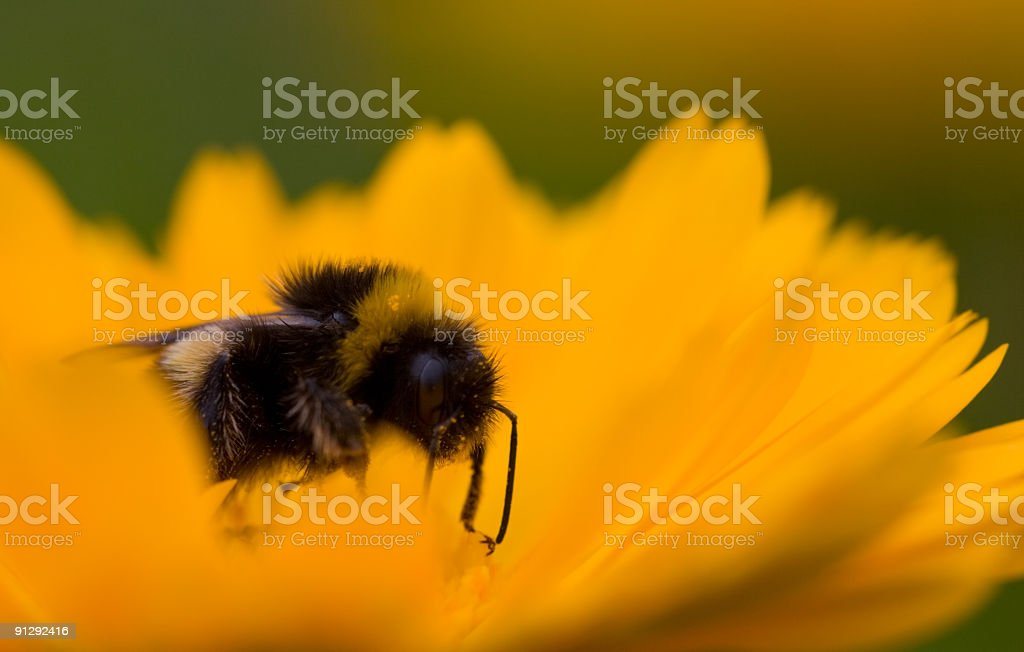 Collecting Nectar royalty-free stock photo