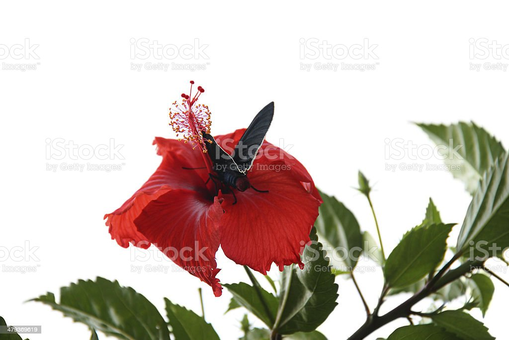 Collecting pollen from a hibiscus stock photo