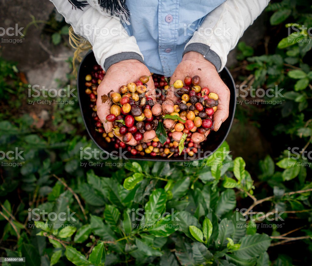 Collecting raw coffee beans at a farm stock photo