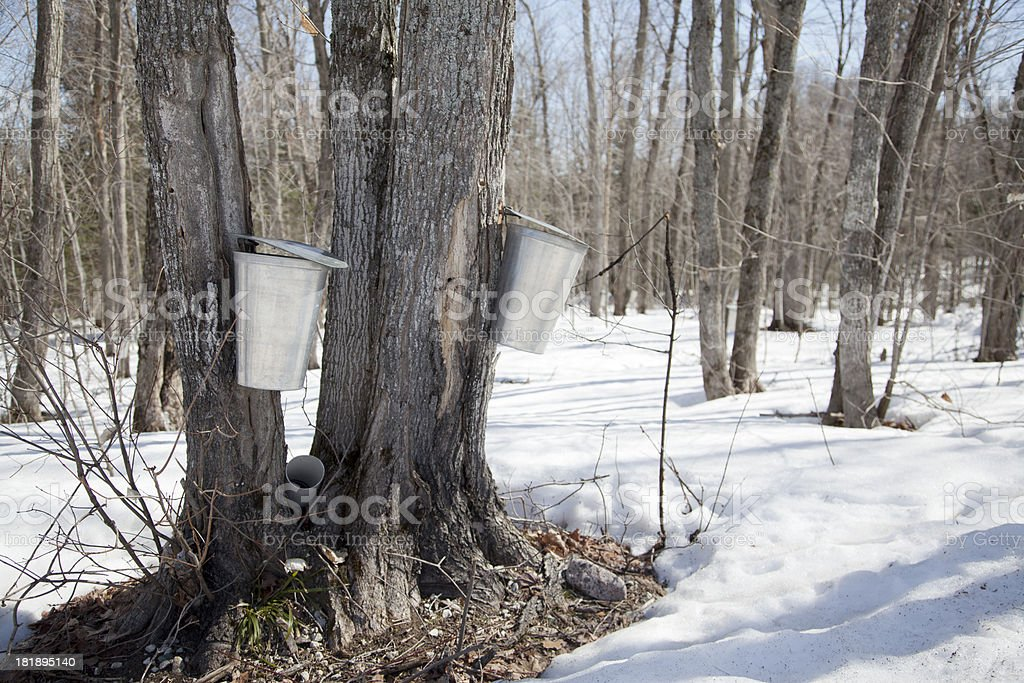 Collecting Sap in Spring royalty-free stock photo