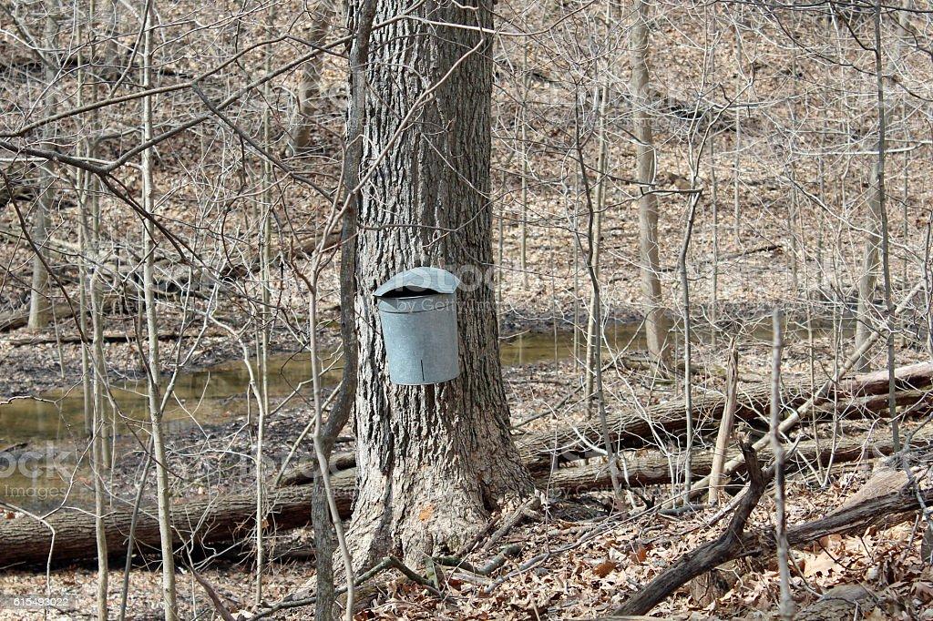Collecting sap stock photo