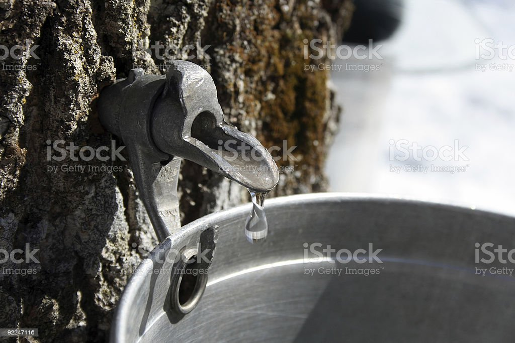 Collecting sap to produce maple syrup stock photo