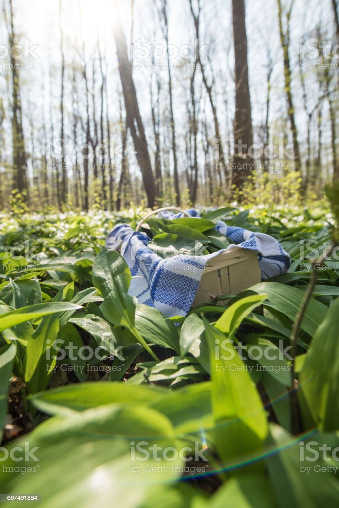 Collecting wild garlic in the woods, Germany, Europe stock photo