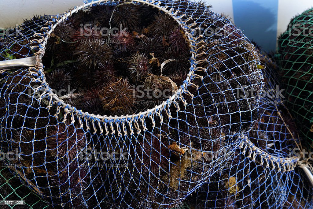Collection and sale of sea urchins stock photo