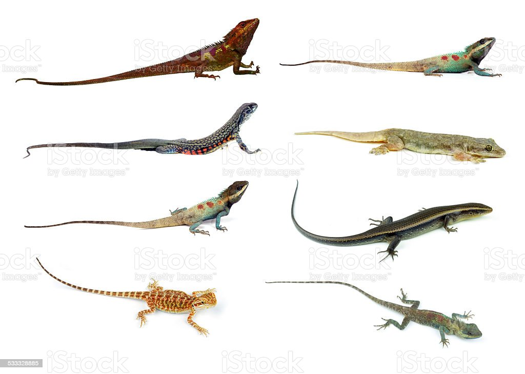 collection animal Lizard of white background stock photo
