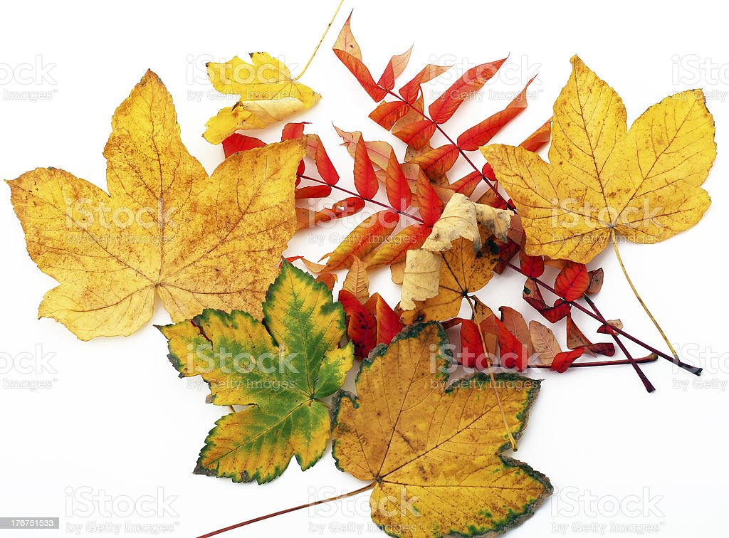 collection beautiful colorful autumn leaves isolated on white ba royalty-free stock photo
