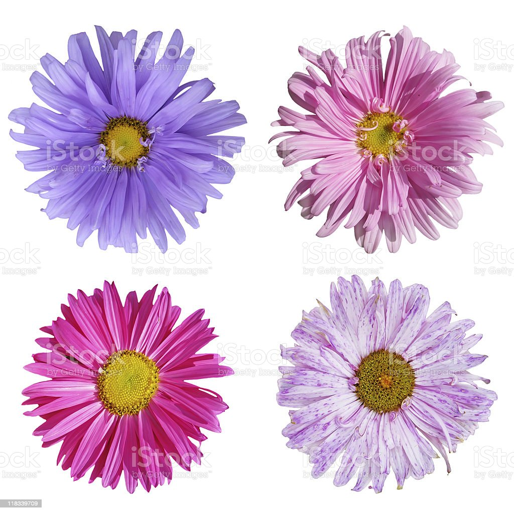 Collection flouwers of an aster royalty-free stock photo