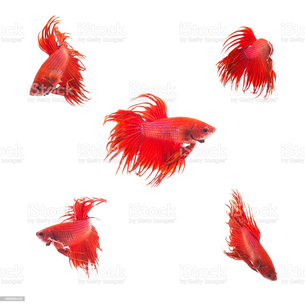 Collection Group of orange red siamese fighting fish stock photo