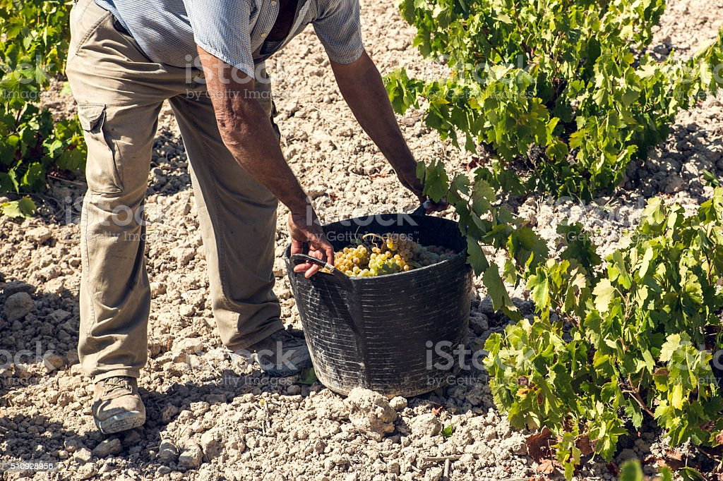 collection harvesting grapes stock photo
