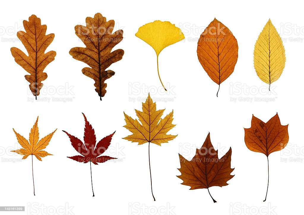Collection of Autumn Leaves Isolated on White royalty-free stock photo