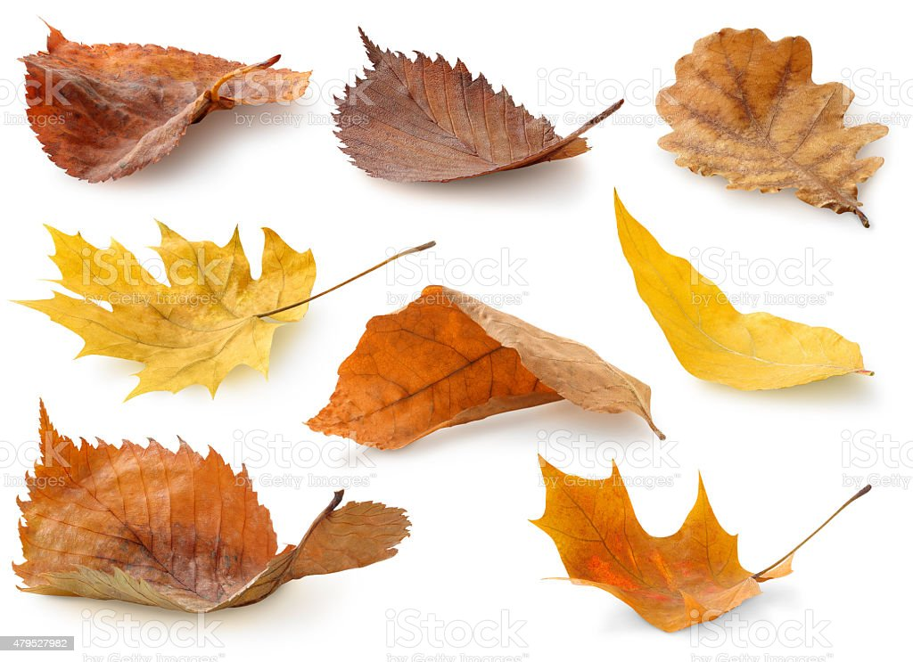 Collection of autumn leaves isolated on white stock photo