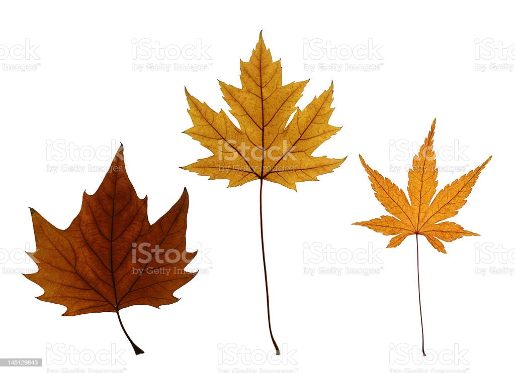 Collection of Autumn Maple Leaves Isolated on White stock photo