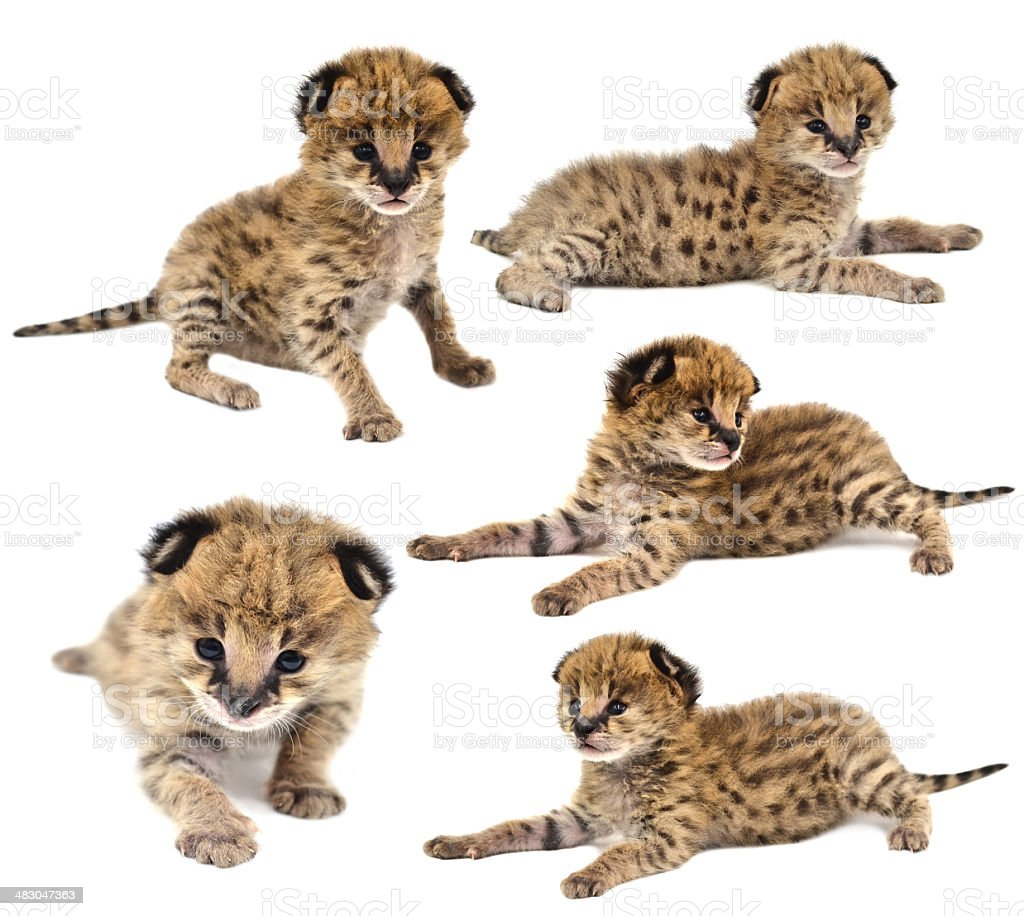 collection of baby serval isolated stock photo