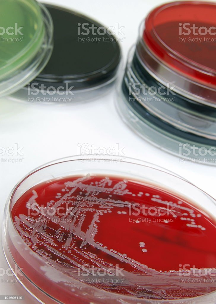 Collection of bacterial cultures featuring Staph. aureus royalty-free stock photo