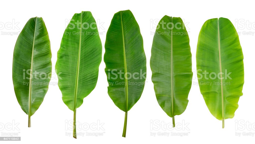 collection of banana leaf stock photo