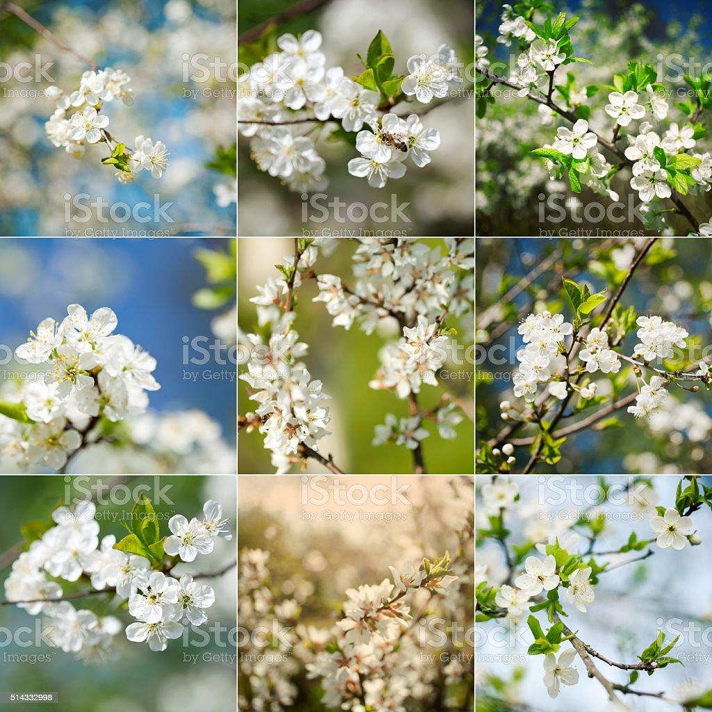 Collection of beautiful spring blossoming plum tree closeups stock photo